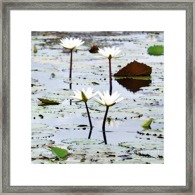 Four Natural Water Lily Flowers Found On The East Side Of Cozumel Mexico Diffuse Glow Digital Art Framed Print by Shawn O'Brien