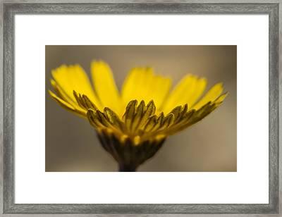 Four-nerve Daisy Framed Print