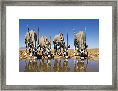 Four Oryx Drinking Namibrand Nature Framed Print by Theo Allofs
