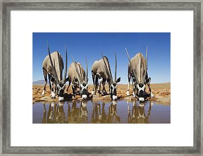 Four Oryx Drinking Namibrand Nature Framed Print