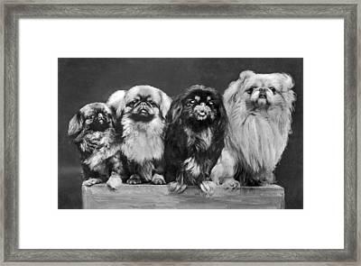 Four Pekingese On A Box Framed Print