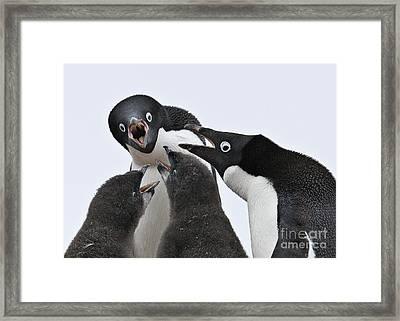 Four Penguins Framed Print by Carol Walker