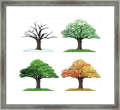 Four Season Tree Framed Print by Sceka