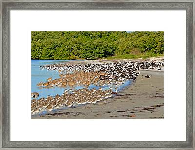 Four Species Of Birds At Roost On Tampa Bay Beach Framed Print by Jeff at JSJ Photography