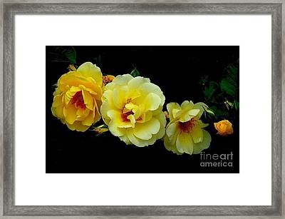 Framed Print featuring the photograph Four Stages Of Bloom Of A Yellow Rose by Janette Boyd