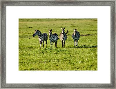 Four Zebras Framed Print