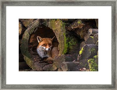 Fox Framed Print by Cees Van Ginkel