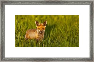 Fox In Grass  Framed Print