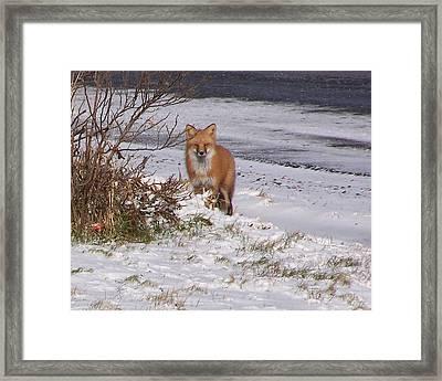 Fox In My Yard Framed Print