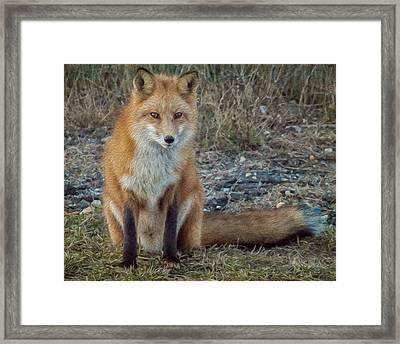 Fox In Oil Framed Print