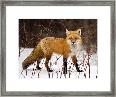 Fox In Winter Framed Print