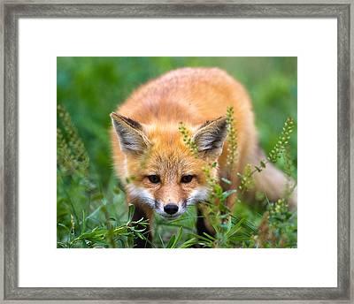Fox Kit Hiding In The Grass Framed Print by Merle Ann Loman