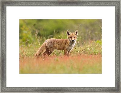 Fox Kit In A Field Of Sorrel Framed Print