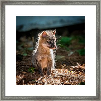Fox Kit Framed Print by Paul Freidlund