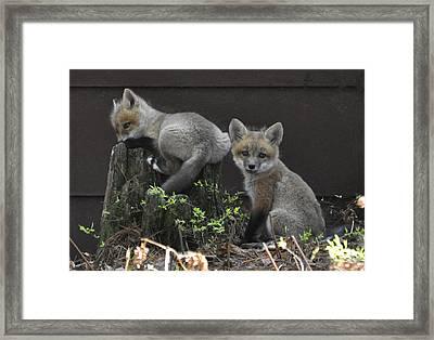 Fox Kit Siblings Framed Print by RJ Martens