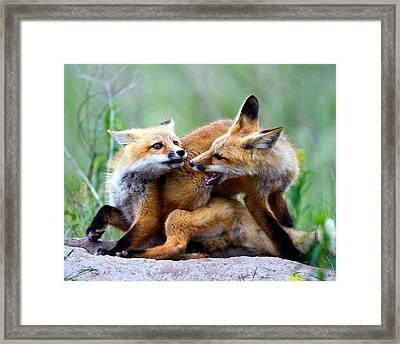 Fox Kits At Play - An Exercise In Dominance Framed Print