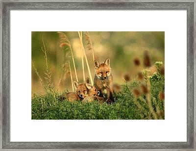 Fox Kits Iv Framed Print