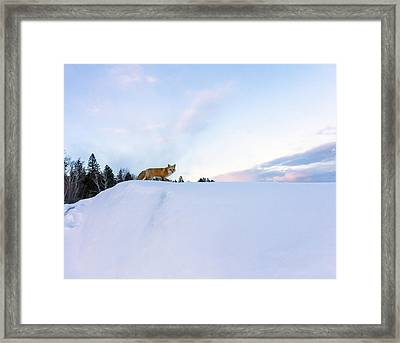 Fox Of The North IIi Framed Print by Mary Amerman