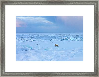 Fox Of The North Country Iv Framed Print by Mary Amerman
