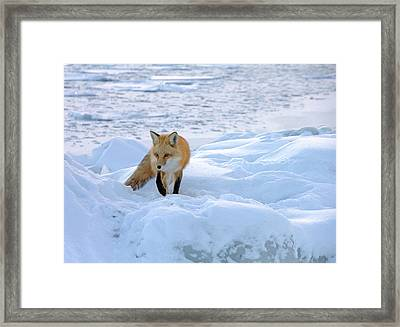 Fox Of The North II Framed Print by Mary Amerman