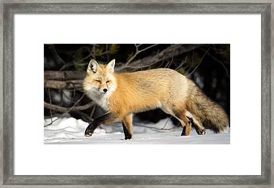 Fox On A Stroll Framed Print