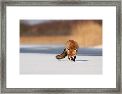 Fox On Ice Framed Print by Roeselien Raimond