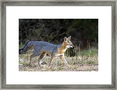 Fox On The Move Framed Print by Dana Moyer