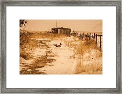 Fox On The Run Framed Print by Shirley Heier