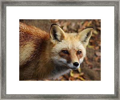Fox Framed Print by Paulette Thomas