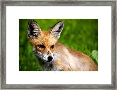 Fox Pup Framed Print by Fabrizio Troiani