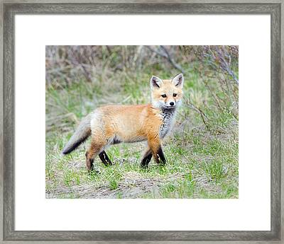 Fox Pup  Framed Print