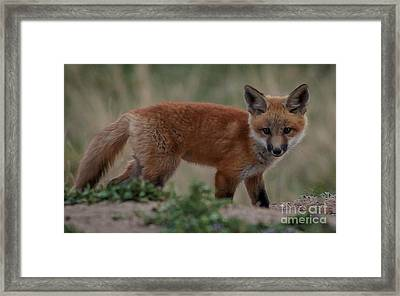Fox Pup Framed Print by Steven Reed