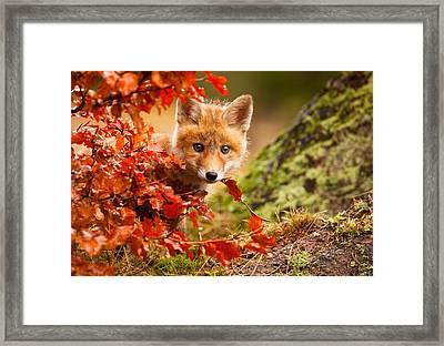 Fox Framed Print by Robert Adamec