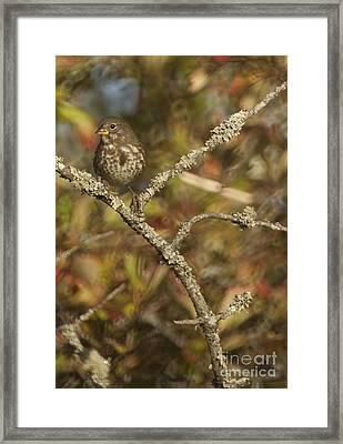 Fox Sparrow Framed Print by Graham Foulkes