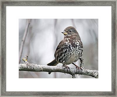 Framed Print featuring the photograph Fox Sparrow by Inge Riis McDonald