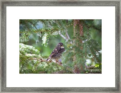 Fox Sparrow Juvenile Framed Print by Chris Heitstuman