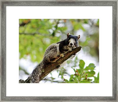 Fox Squirrel Framed Print by Cynthia Guinn