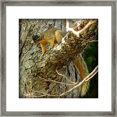 Fox Squirrel IIi Framed Print by Lynn Griffin