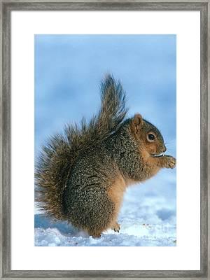 Fox Squirrel Framed Print by William H. Mullins