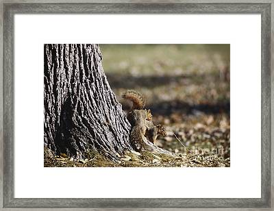 Fox Squirrels Mating Framed Print by William H. Mullins