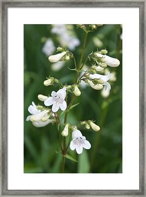 Foxglove Beardtongue Framed Print