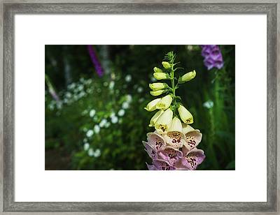 Foxglove Blooms In A Garden Framed Print by Robert L. Potts