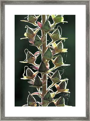Foxglove (digitalis Purpurea) Seedpods Framed Print by Colin Varndell