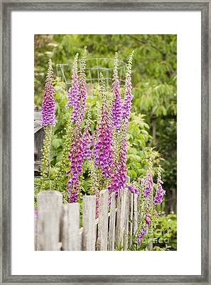 Foxglove Fence Framed Print by Anne Gilbert