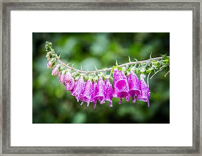 Foxglove Flower Framed Print