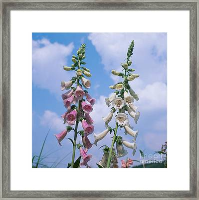 Foxglove Flowers Digitalis Purpurea Framed Print