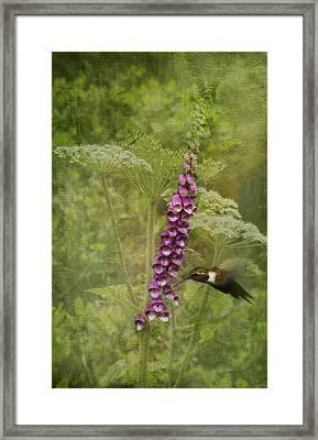 Foxglove Queen Ann's Lace And The Hummingbird Framed Print