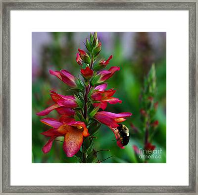 Foxglove With Bee Framed Print by Nancy Mueller