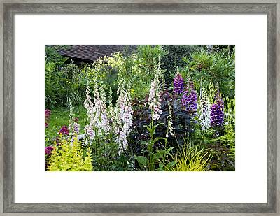Foxgloves (digitalis Sp.) Framed Print by Science Photo Library