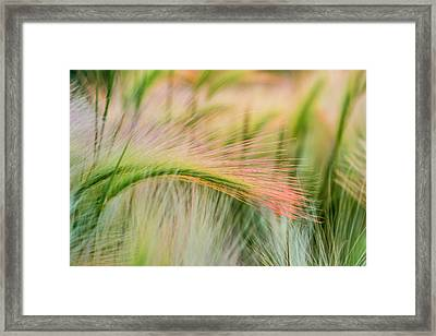 Foxtail Barley Near Regent, North Framed Print by Chuck Haney